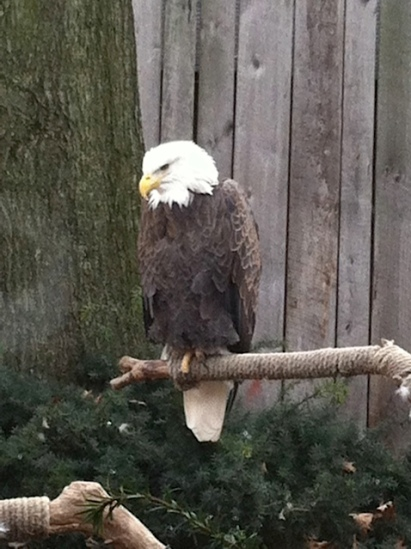 The Aviary got us up close to Bald Eagles...