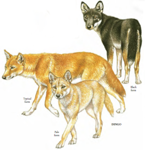 dingos are wild dogs mostly found in australia-princeton.edu