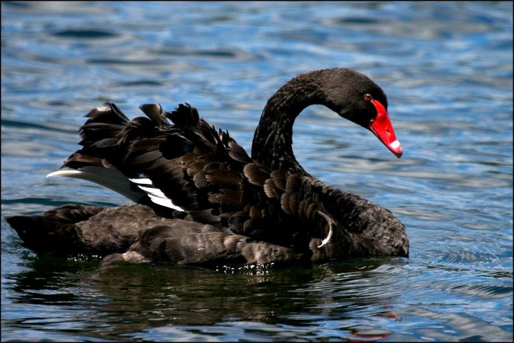 20090111153540_12826-black swan-sw