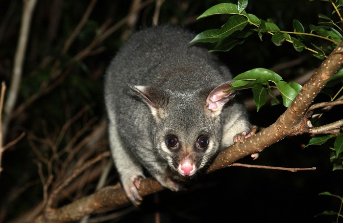 Creating_habitat_for_wildlife_such_as_the_Brushtail_possum_(8065737659)